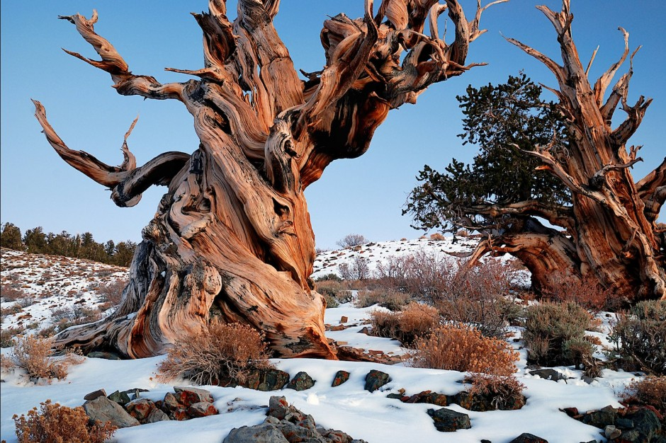 Ancient-Bristlecone-Pine-Forest-United-States8