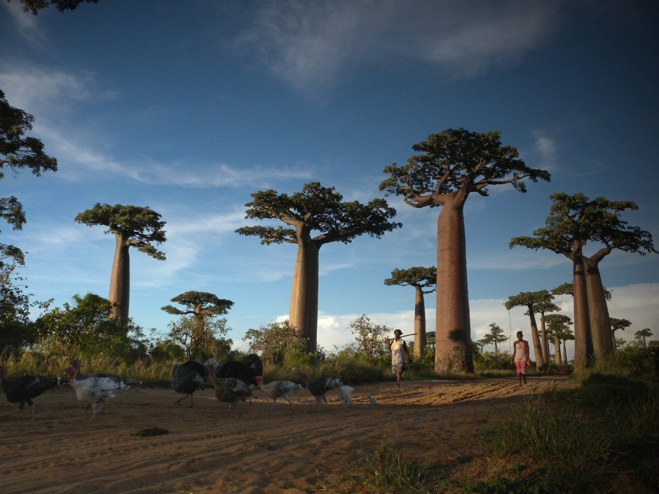 Avenue-of-the-Baobabs-Madagascar2