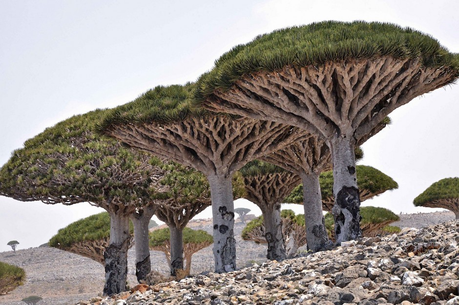 Dragon-Blood-Tree-Forest-Socotra6