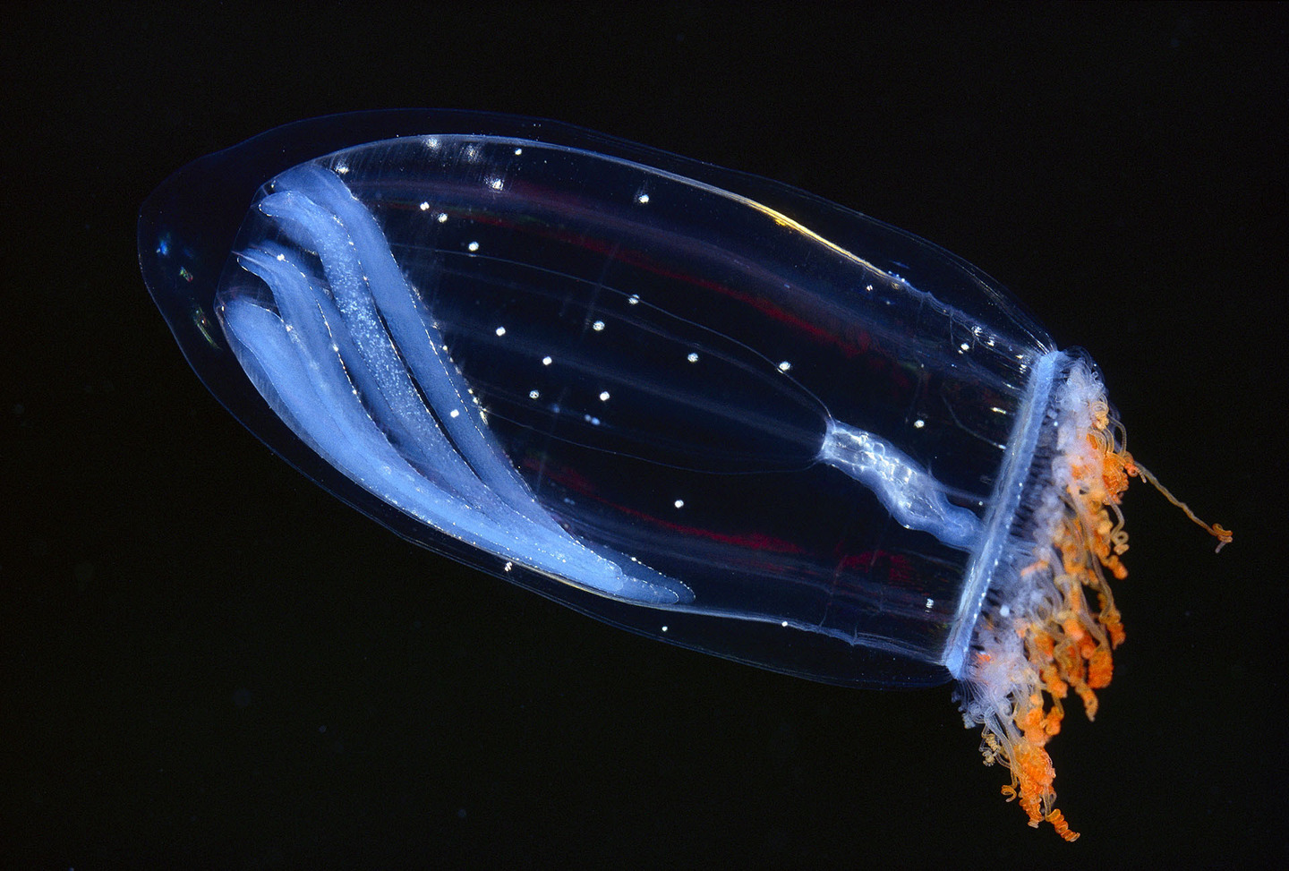 Deep sea jellyfish bioluminescence