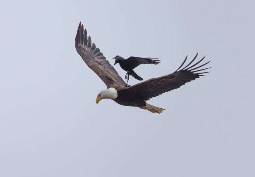 Eagle-Crow-Ride-2