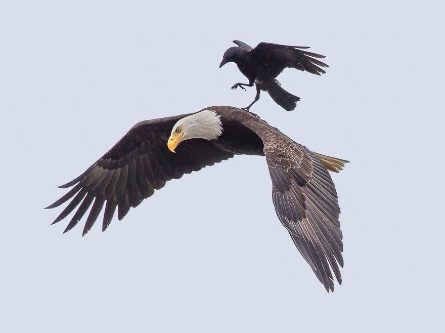 Eagle-Crow-Ride-3