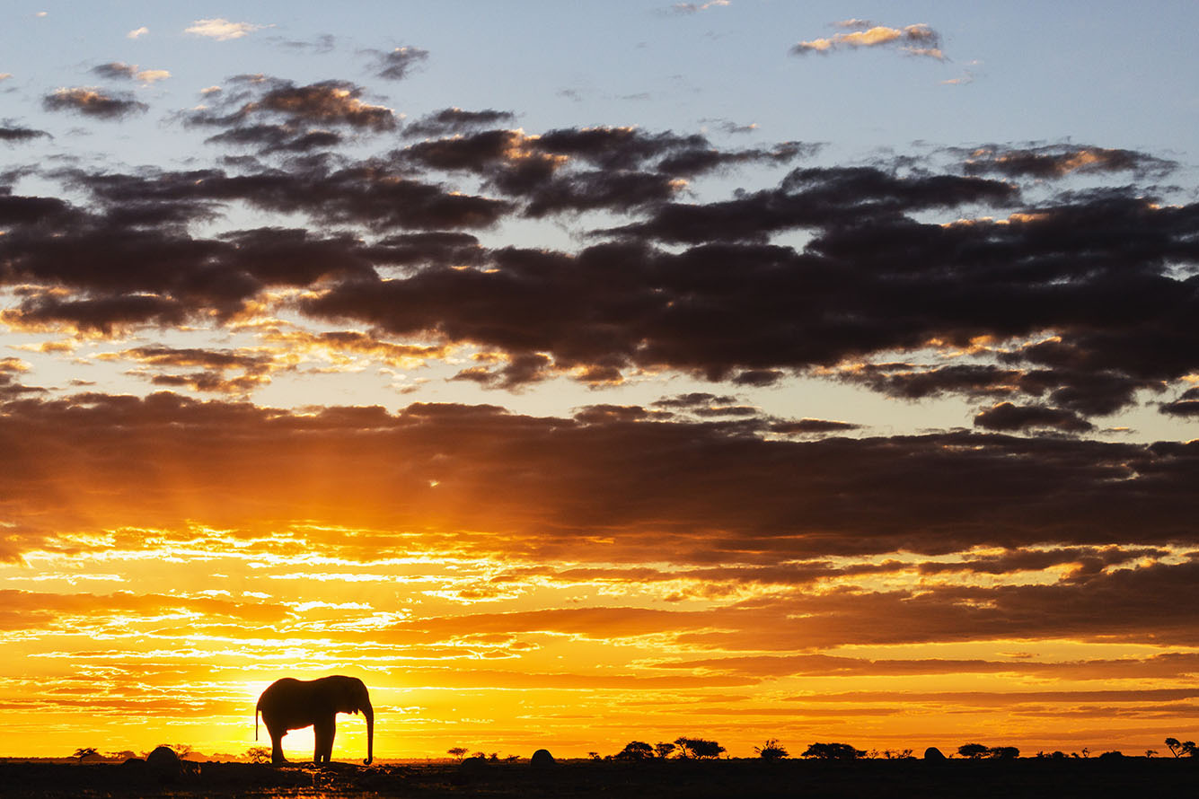12 Jul 2013, Botswana --- A silhouette of a bachelor elephant bull (Loxodonta africana) walking against a golden African sky streaked with rays of light at sunset, Nxai Pan, Botswana, Africa --- Image by © Jami Tarris/Corbis