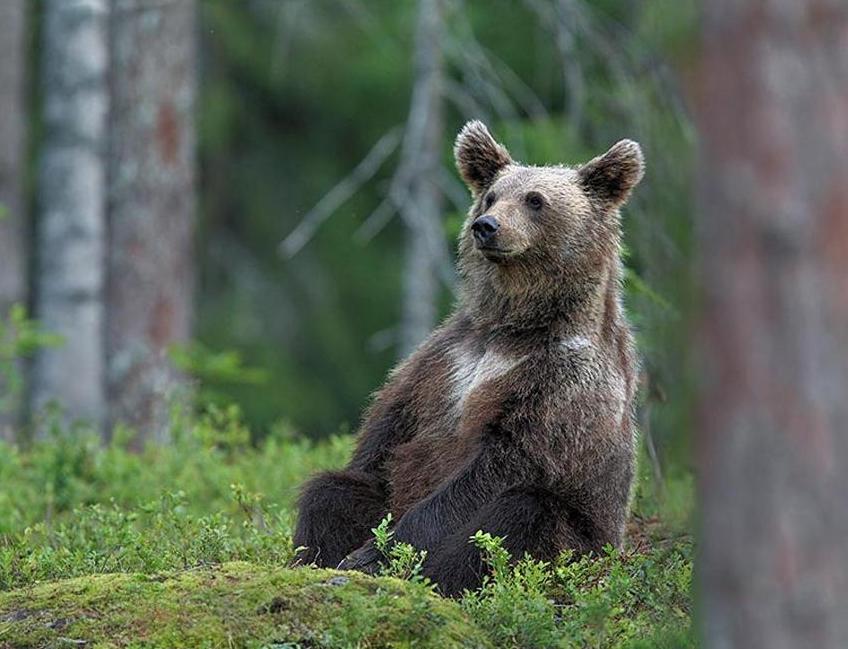 медведь сидит и думает