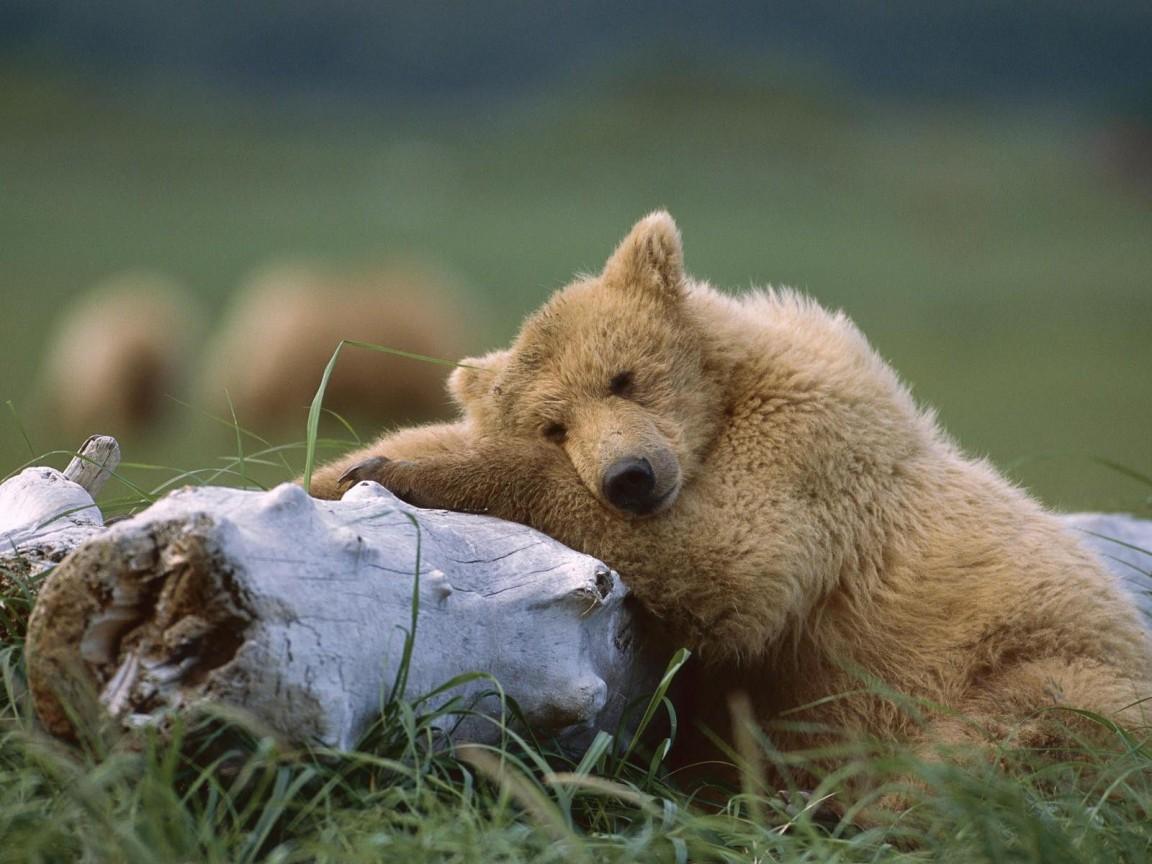 грустный медведь на бревне