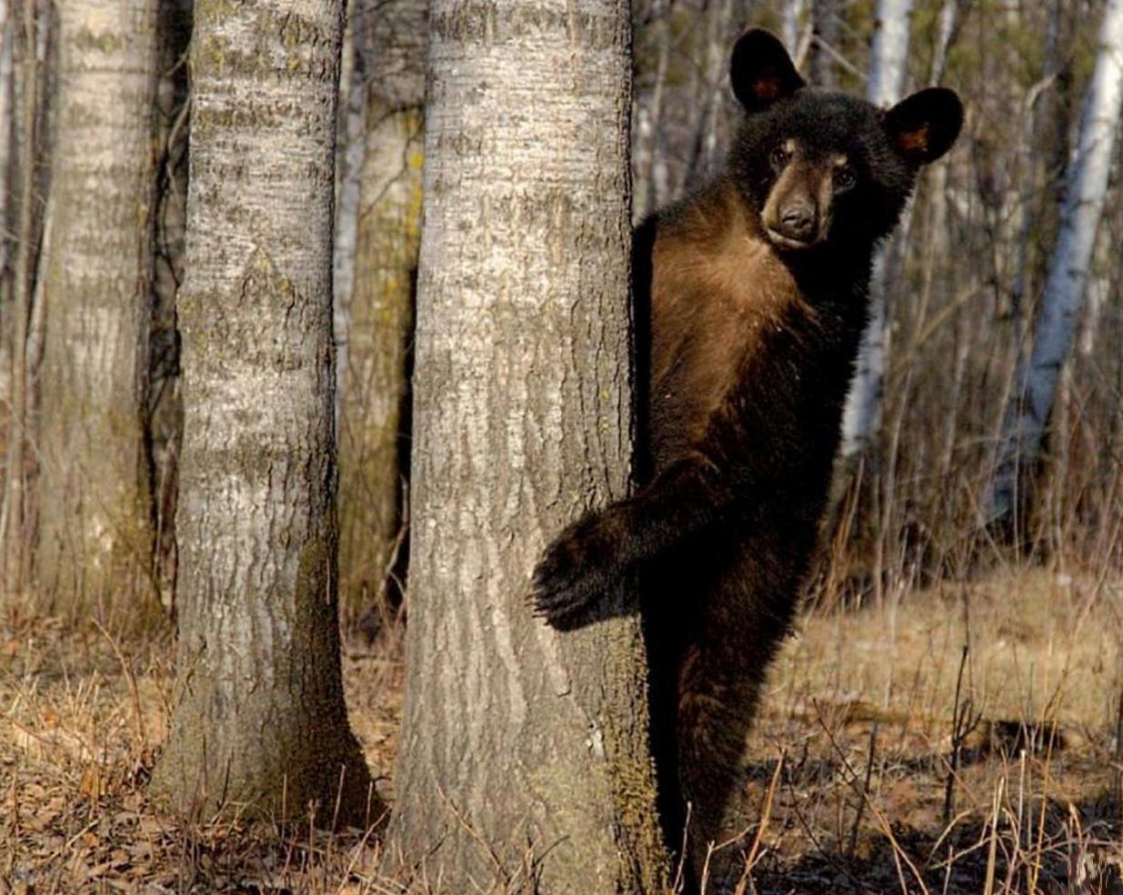 медведь за деревом