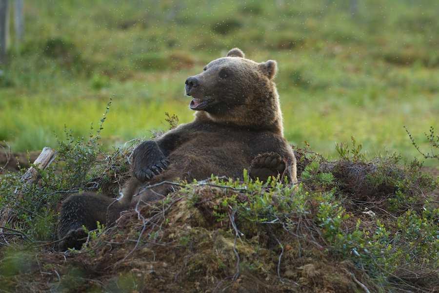 довольный медведь