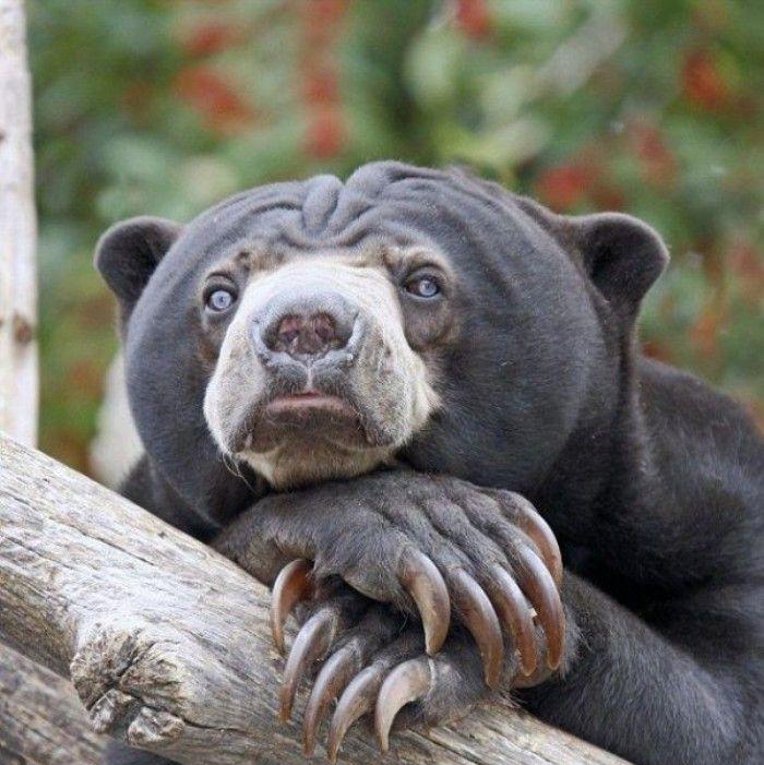 медведь грустный