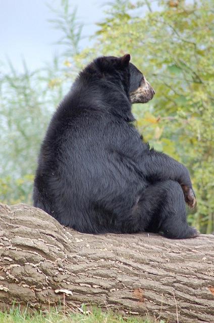 задумчивый медведь