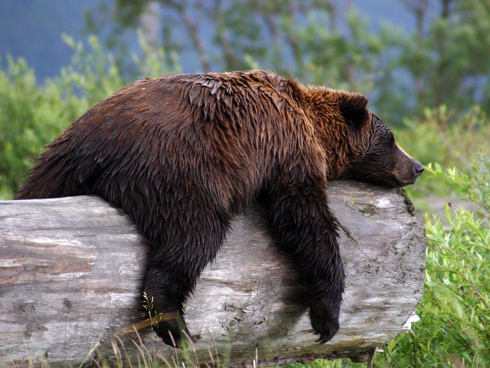 медведь лежит на бревне