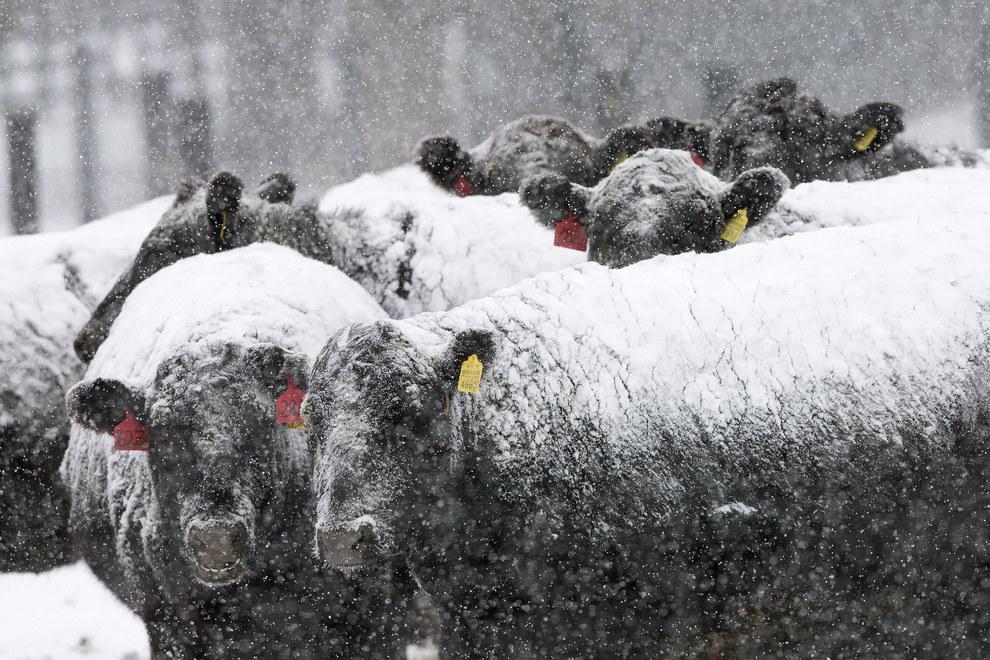 Быки в снегу