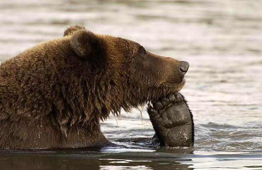 бурый медведь думает