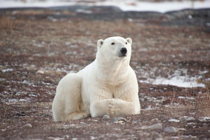 белый медведь сидит