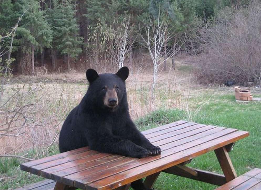 медведь сидит за столом