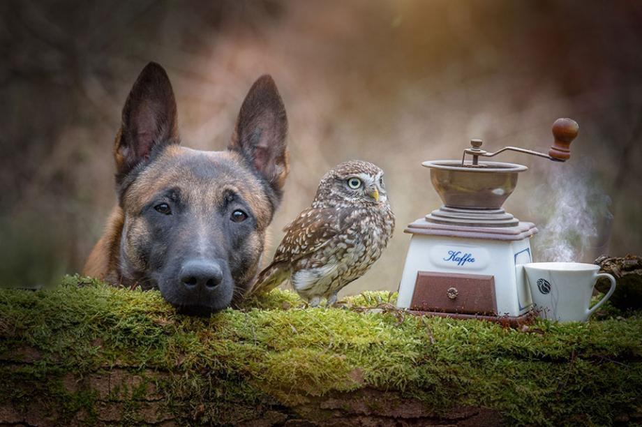 совенок и овчарка
