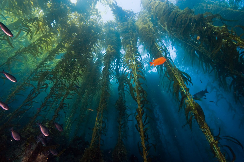 Kelp-Forest-oceans-11