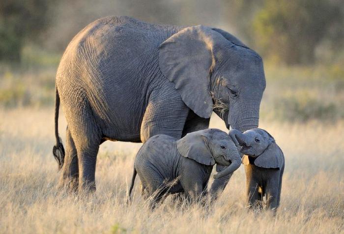 Слониха и слонята
