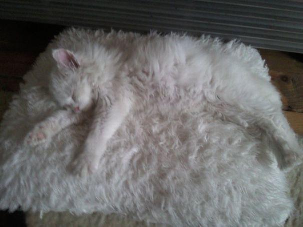 Белый пушистый котик