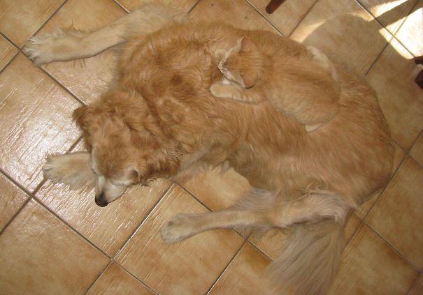 Рыжий кот и собака