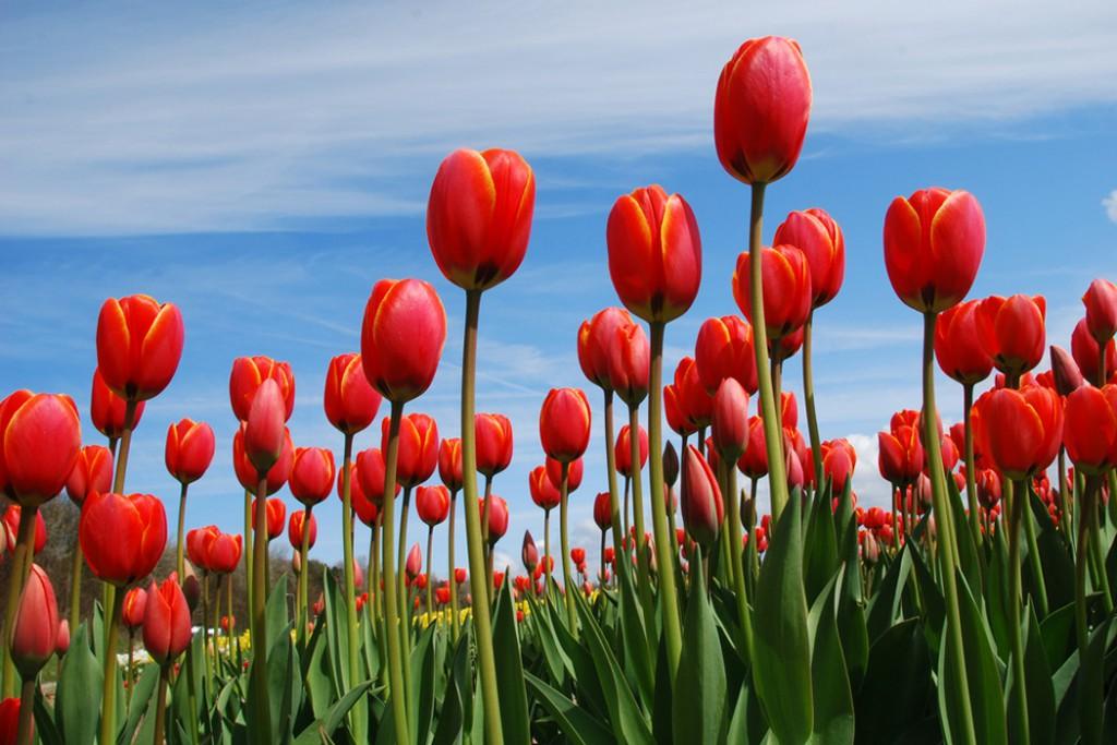 моим фотографии самых красивых тюльпанов вспоминаю, как родителями