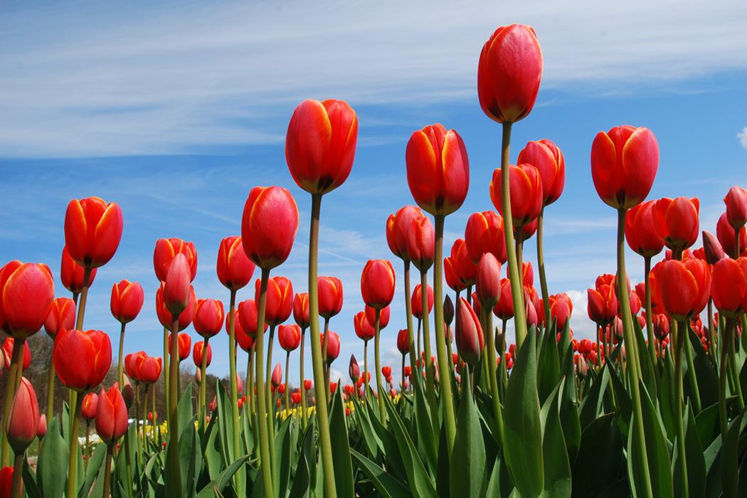 Красгые тюльпаны