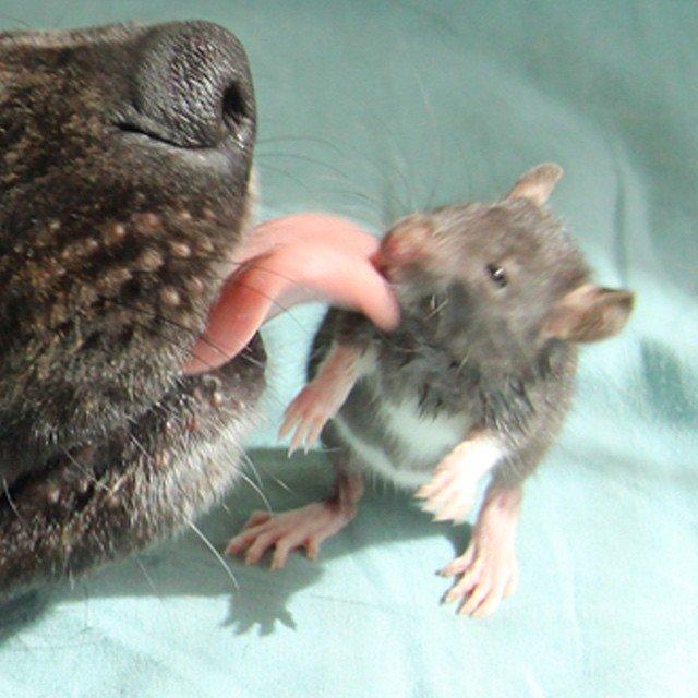 animal-friends-rat-dog-osiris-riff-51