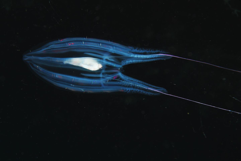 Comb Jelly (Callianira antarctica) showing bioluminescence, Antarctica