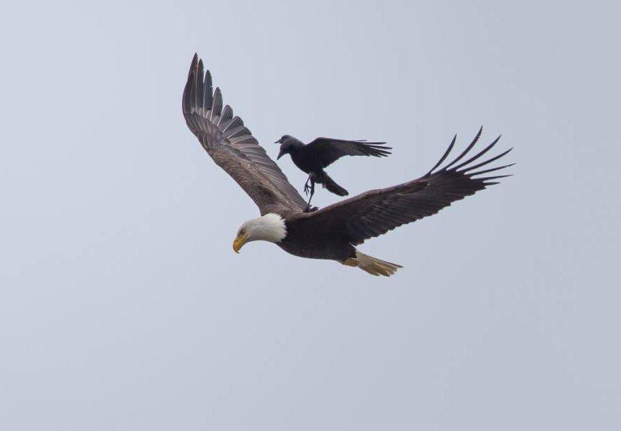 Eagle-Crow-Ride-2