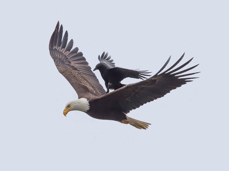 Eagle-Crow-Ride-4