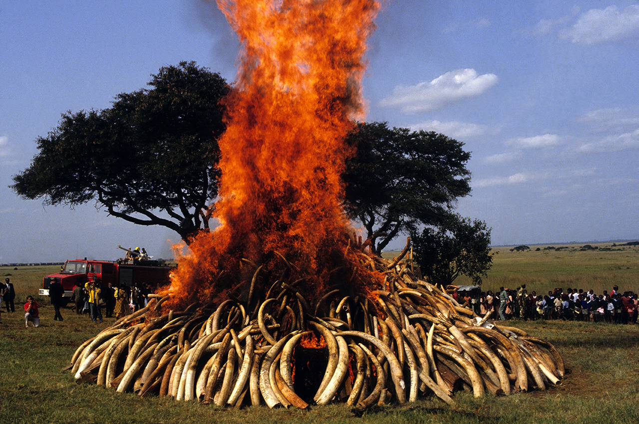 Бивни слонов