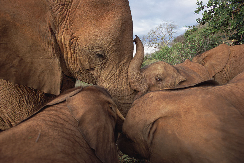 Молодой африканский слон