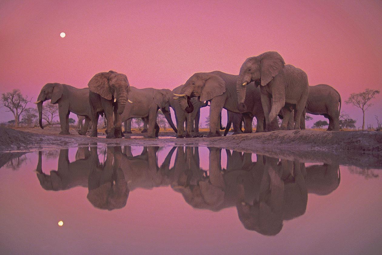 Chobe National Park, Botswana --- African elephants at twilight (Loxodonta africana) at Chobe National Park in Botswana. --- Image by © Frans Lanting/Corbis