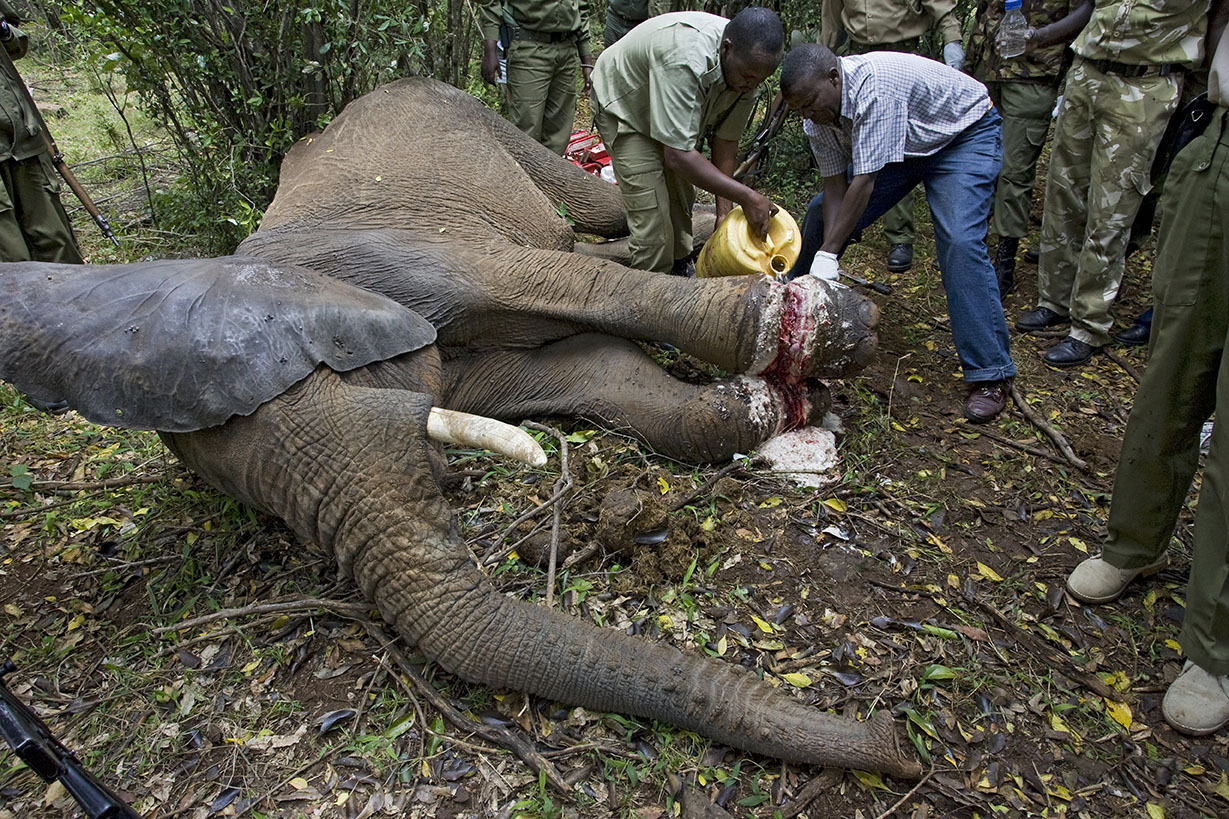 African Elephant (Loxodonta africana) with rangers and veterinarians attempting to remove poacher's snare from elephant's foot, Masai Mara, Kenya