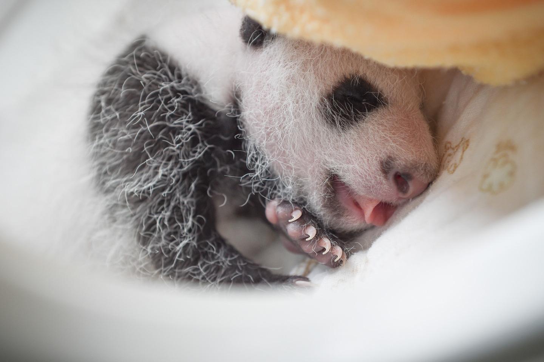 panda-8