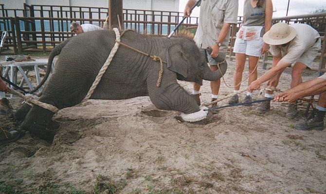 цирк с животными: слоны