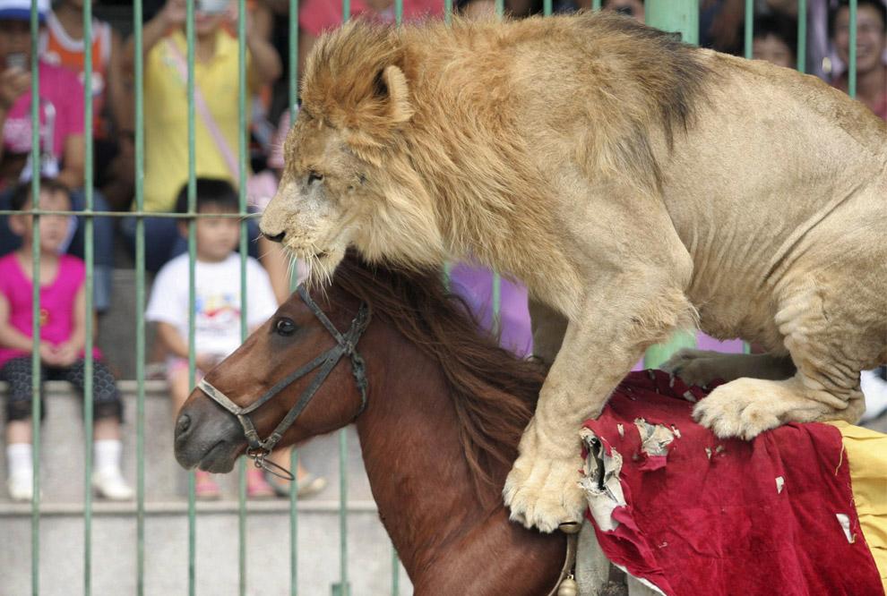 Лев на лошади