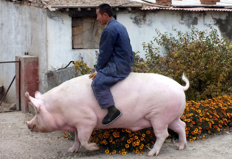 """Farmer Zhang Xianping rides his pig """"Big Precious"""" during an interview with the media, in Zhangjiakou"""
