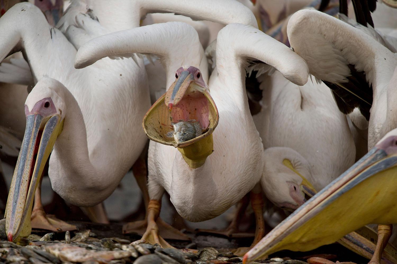 APTOPIX Mideast Israel Great White Pelicans