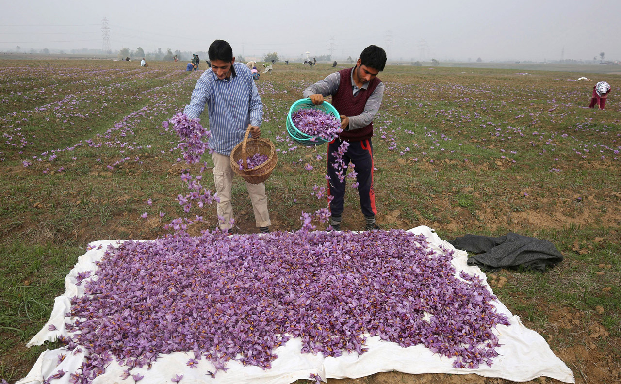 Saffron harvest in Kashmir