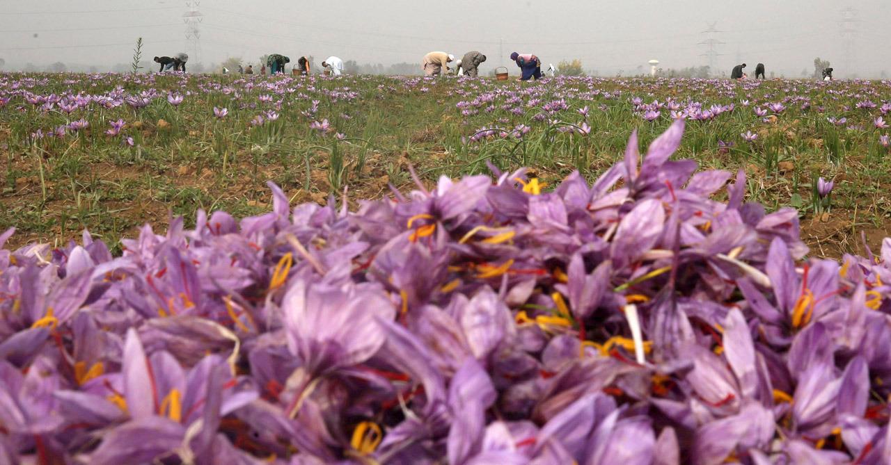 Saffron harvest in Kashmir