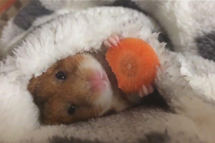 Хомяк ест морковку