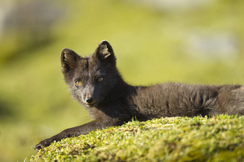 Полярная лисица