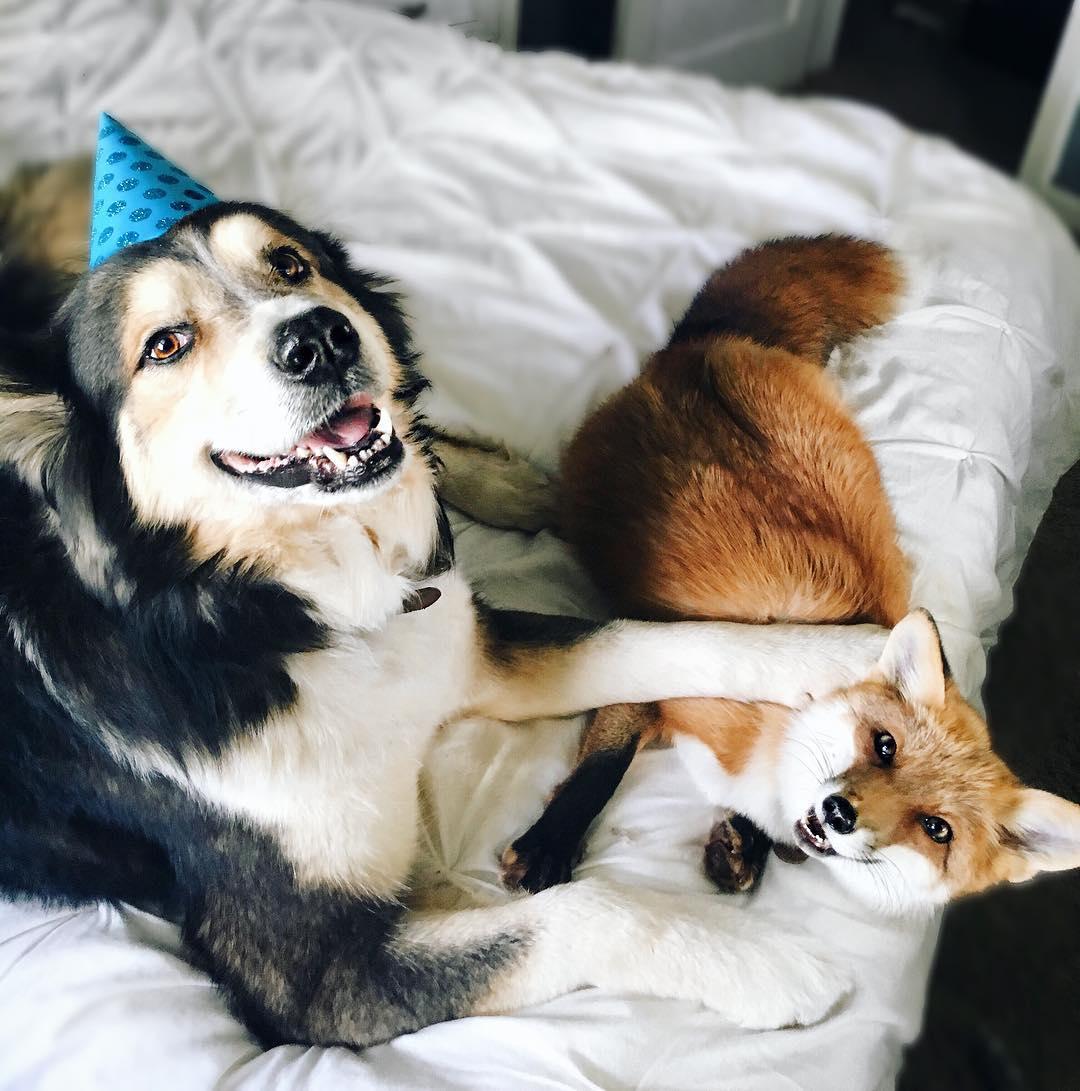 собака и лиса