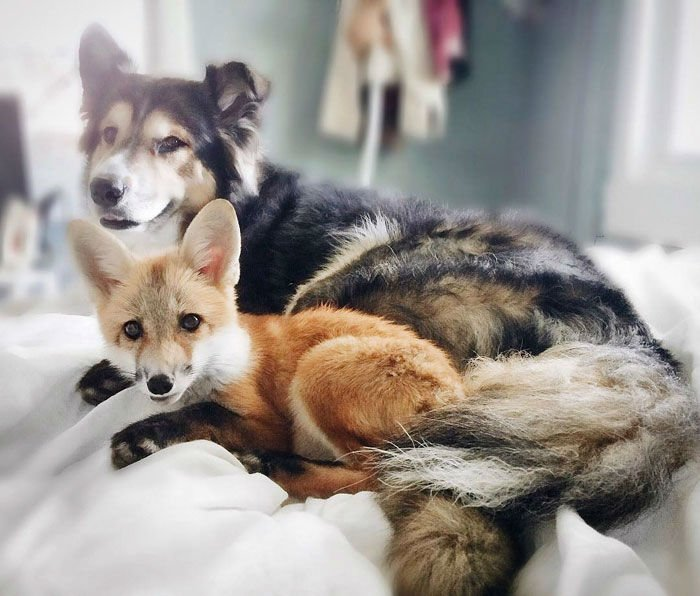 pet-fox-dog001