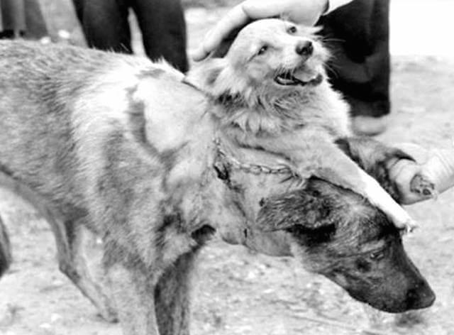 двухголовая собака Демихова