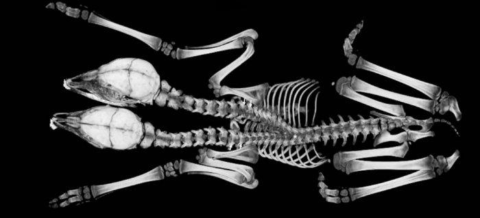 скелет двуглавого оленя