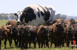 самая большая корова