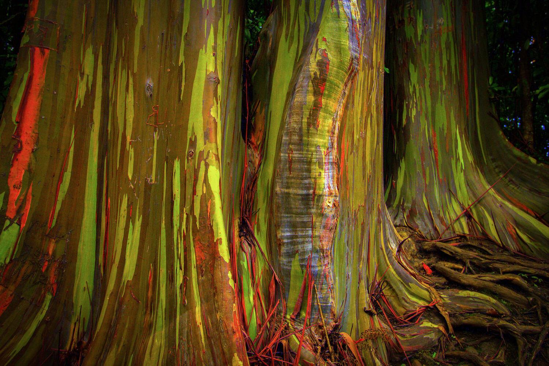 природные явления на Земле: радужный эвкалипт