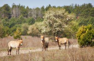 Лошади Прживальского