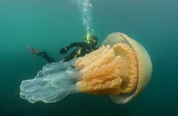бочковая медуза